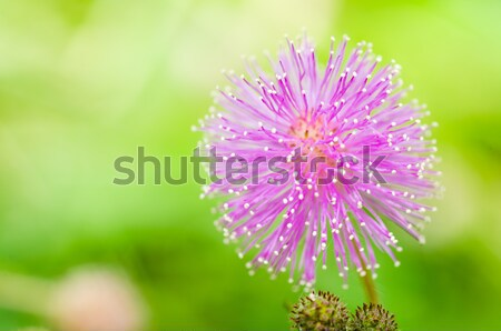 Sensitive plant - Mimosa pudica  in green nature Stock photo © sweetcrisis