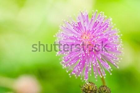 érzékeny növény zöld természet kert Stock fotó © sweetcrisis