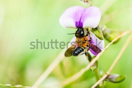 Stockfoto: Bee · macro · groene · natuur · bijen · tuin