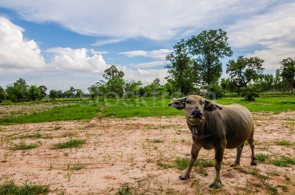 Thai buffalo Stock photo © sweetcrisis