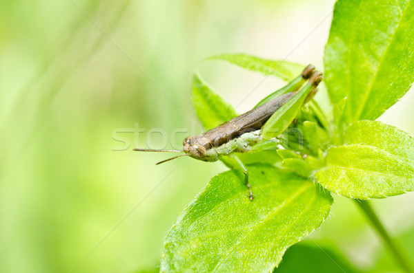 grasshopper in green nature  Stock photo © sweetcrisis