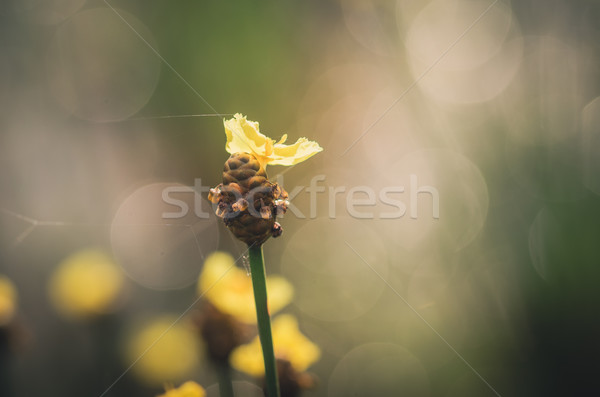 желтые цветы Vintage Таиланд трава природы Сток-фото © sweetcrisis