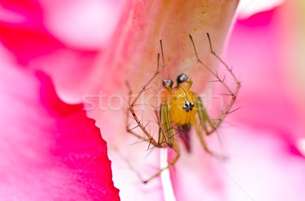 Longues jambes araignée fleur rose vert nature jardin Photo stock © sweetcrisis