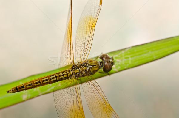 Yusufçuk bahçe yeşil doğa güzel böcek Stok fotoğraf © sweetcrisis
