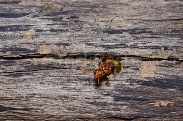ワスプ 緑 自然 庭園 蜂 黄色 ストックフォト © sweetcrisis