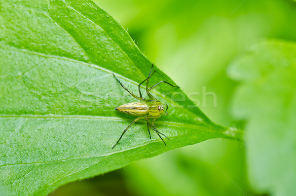long legs spider in green natur Stock photo © sweetcrisis