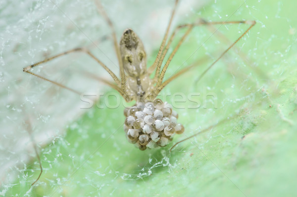 Spider яйца зеленый природы макроса выстрел Сток-фото © sweetcrisis