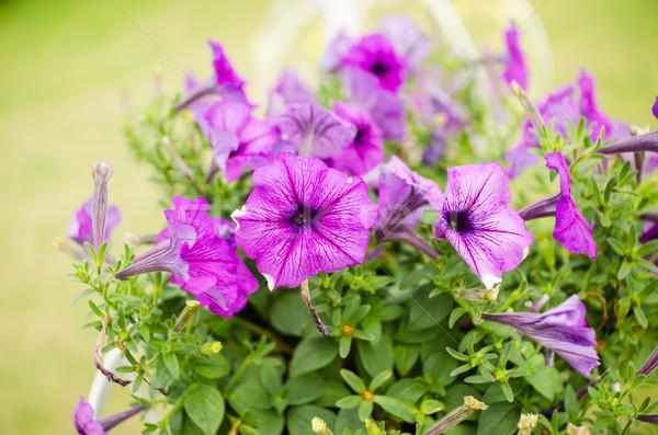 Ibolya kert természet park levél nyár Stock fotó © sweetcrisis