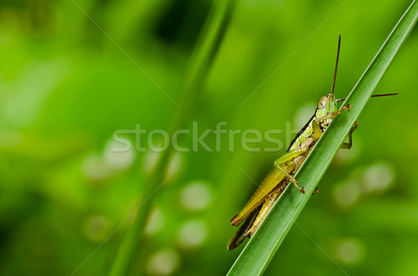 Gafanhoto verde natureza jardim comida cor Foto stock © sweetcrisis