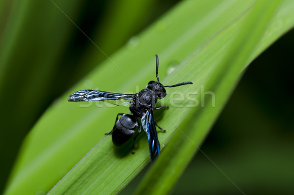 black wasp in green nature Stock photo © sweetcrisis