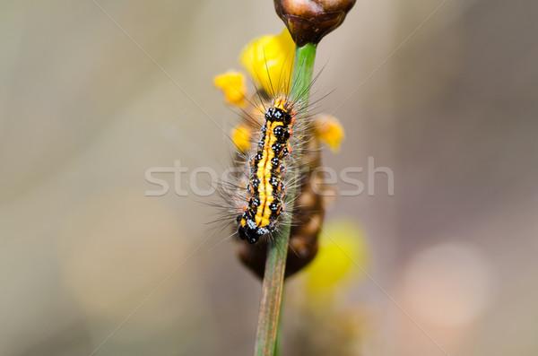 Sarı siyah solucan doğa güzellik renk Stok fotoğraf © sweetcrisis