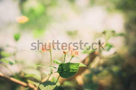 Adaçayı bez altın bağbozumu Stok fotoğraf © sweetcrisis