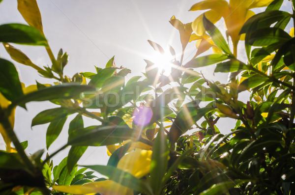 Altın trompet çiçek bahçe doğa park Stok fotoğraf © sweetcrisis