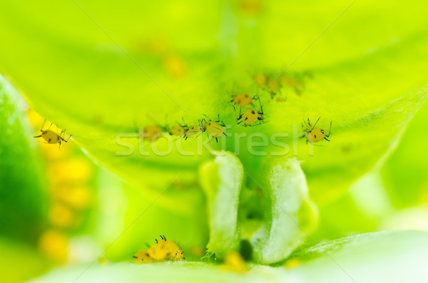 Aphid insect in green nature Stock photo © sweetcrisis