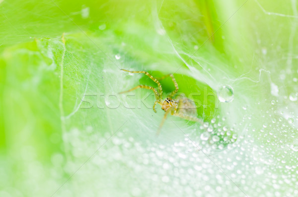 spider macro and the web water drops in nature Stock photo © sweetcrisis