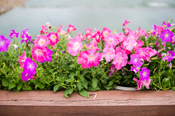 Petunia or Petunia Hybrida Vilm Stock photo © sweetcrisis