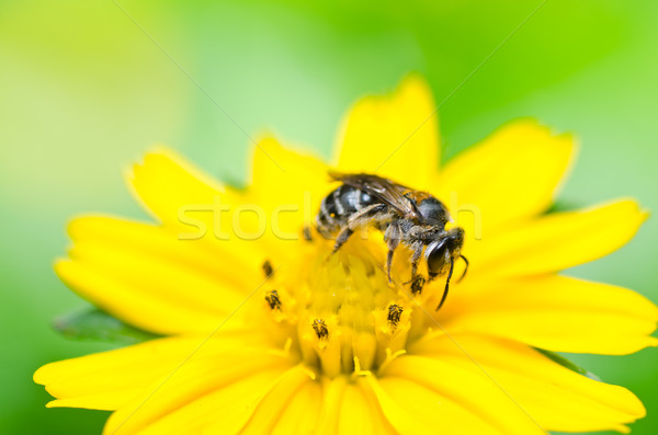 Abeille peu jaune star fleur vert Photo stock © sweetcrisis