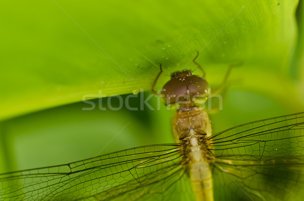 fresh dragonfly in green nature Stock photo © sweetcrisis