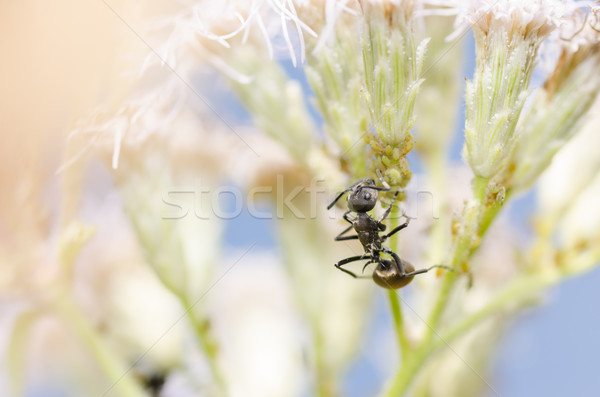 Zwarte mier groene natuur tuin Stockfoto © sweetcrisis