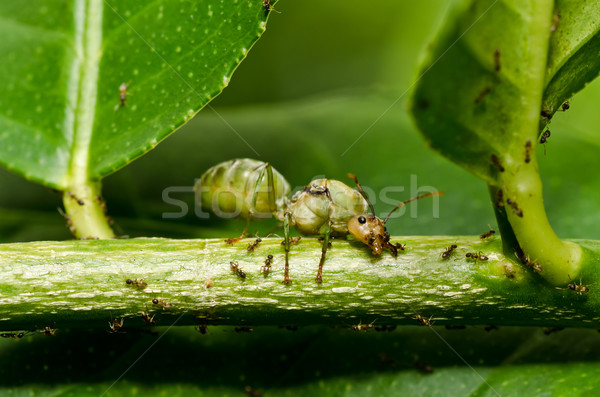 queen ant in green nature Stock photo © sweetcrisis