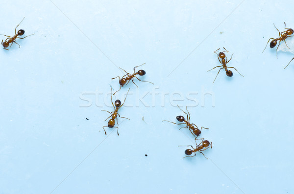 Rouge feu fourmi jardin nature texture Photo stock © sweetcrisis