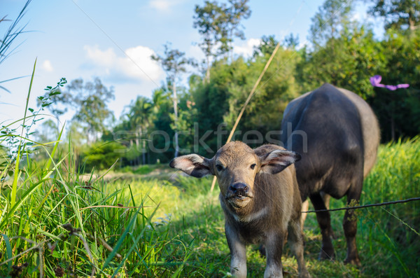 Buffalo in the farmland Stock photo © sweetcrisis