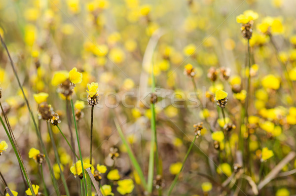 żółte kwiaty roślin charakter wiosną ogród tle Zdjęcia stock © sweetcrisis