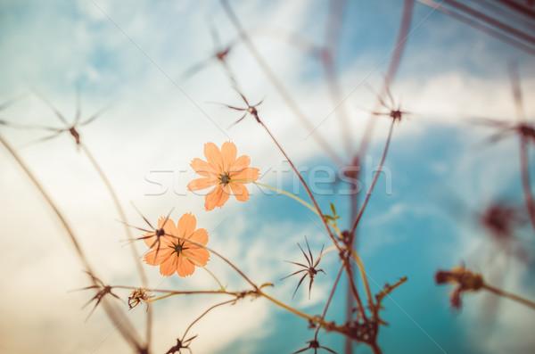Yellow Cosmos flower vintage Stock photo © sweetcrisis
