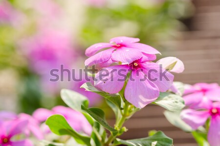 Catharanthus roseus or Periwinkle vintage Stock photo © sweetcrisis