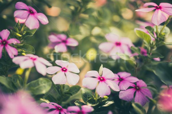 Vintage Madagascar rosy rosa fiore erba Foto d'archivio © sweetcrisis