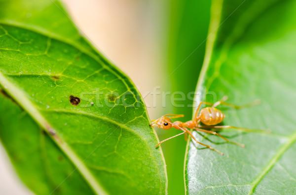 Vermelho formiga poder natureza folha trabalhador Foto stock © sweetcrisis
