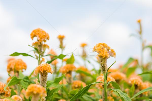 Laranja lã flores flor jardim de flores natureza Foto stock © sweetcrisis
