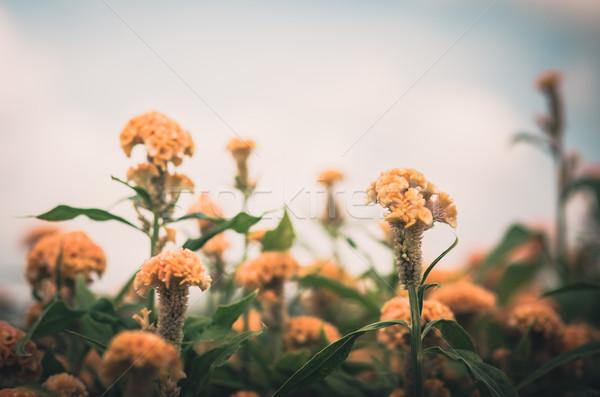 Orange Celosia or Wool flowers or Cockscomb flower vintage Stock photo © sweetcrisis