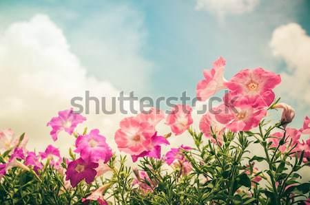 Petunia or Petunia Hybrida Vilm vintage Stock photo © sweetcrisis