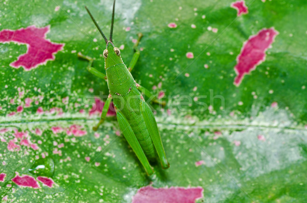 Sauterelle vert nature ferme alimentaire été Photo stock © sweetcrisis