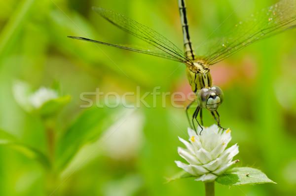 Dragonfly ogród zielone charakter piękna owadów Zdjęcia stock © sweetcrisis