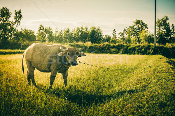 Thai víz rizsföld vidék munka farm Stock fotó © sweetcrisis