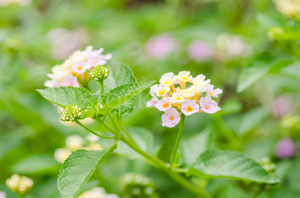 Sauvage sauge drap or jardin de fleurs fleur Photo stock © sweetcrisis