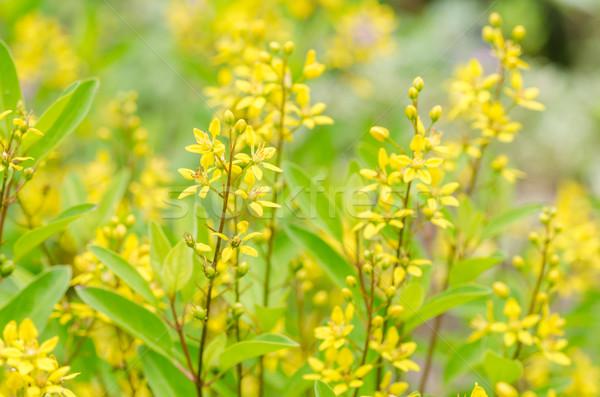 желтый цветок небольшой саду природы парка лист Сток-фото © sweetcrisis