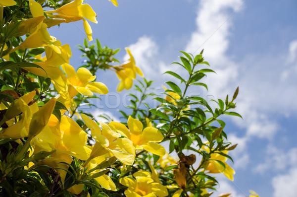 トランペット 花 庭園 自然 公園 ストックフォト © sweetcrisis