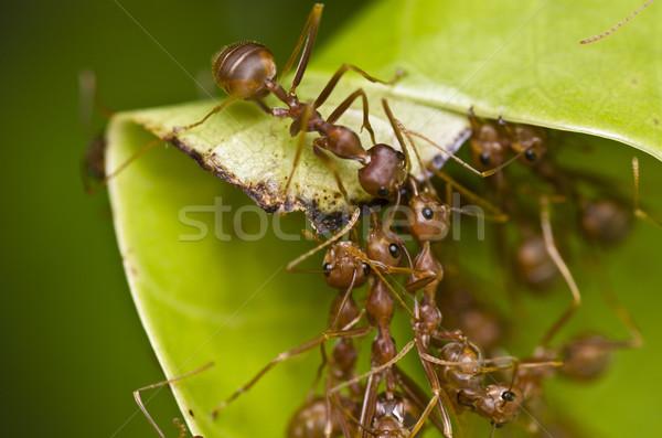 Vermelho formigas trabalho em equipe edifício casa trabalhador Foto stock © sweetcrisis