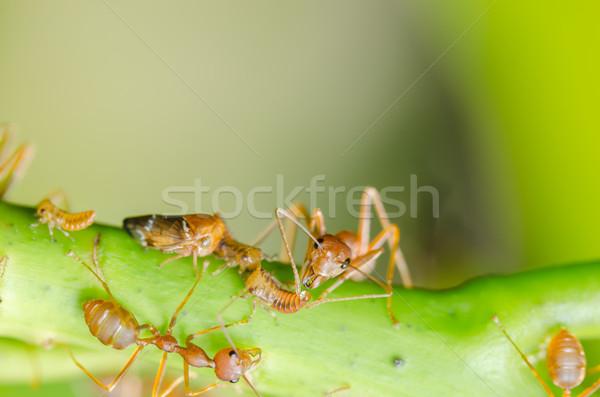 赤 アリ 葉 自然 庭園 黒 ストックフォト © sweetcrisis