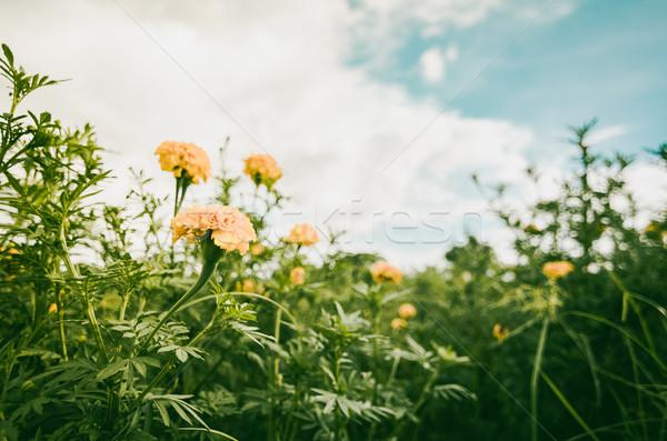 Marigolds or Tagetes erecta flower Stock photo © sweetcrisis