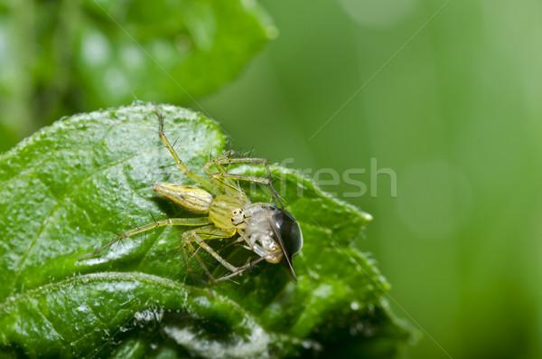 Hosszú lábak pók eszik rovar zöld levél zöld Stock fotó © sweetcrisis