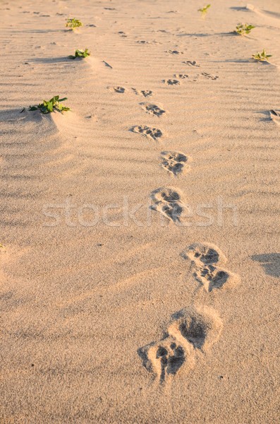 Dogs track in sand Stock photo © sweetcrisis