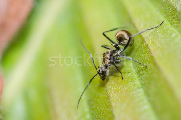 黒 アリ 葉 自然 ストックフォト © sweetcrisis