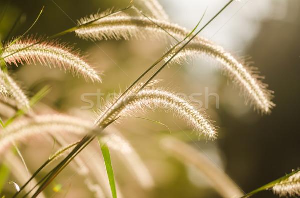 Anão grama erva daninha plantas flores flor Foto stock © sweetcrisis