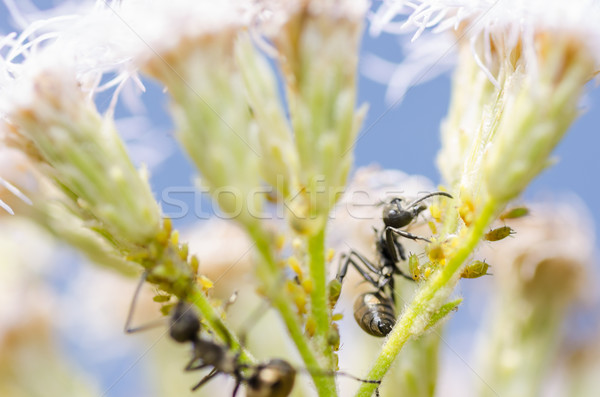 black ant and aphids in green nature Stock photo © sweetcrisis