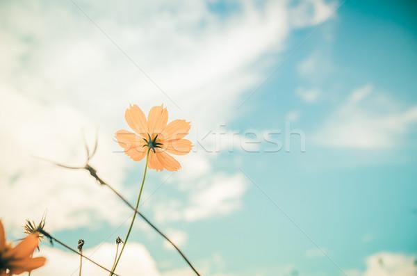 Amarelo flor vintage blue sky natureza céu Foto stock © sweetcrisis