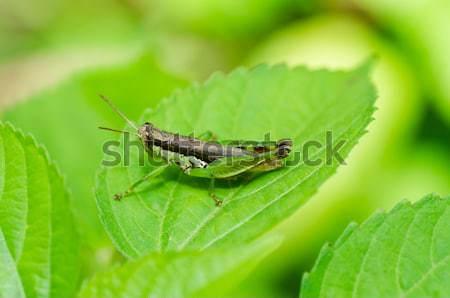 Szöcske zöld természet kert étel levelek Stock fotó © sweetcrisis